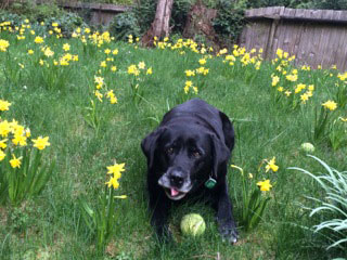 Black lab in the Daffodils